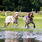 Italian Spinone ~ Rosie & Robyn by heidiannemorris