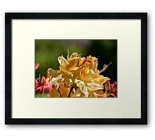 Rhodoendron Framed Print