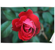 Red Rose With Raindrops Poster