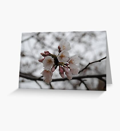 White Cherry Blossom In Full Bloom Greeting Card