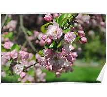 Pink Cherry Blossom In Full Bloom Poster