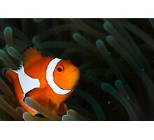 Curious Nemo Photographic Print
