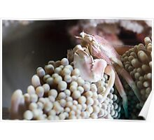 Close-up Porcelain Crab Poster