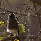 Baby Magpie by Deborah McGrath