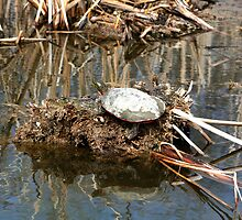 Painted Turtle on Mud and Reeds by rhamm