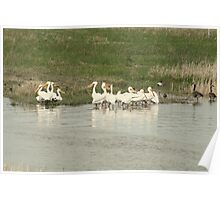Flock of American White Pelicans Poster