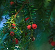 Christmas Berries by barrylee