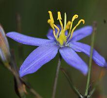 Thelionema caespitosum by andrachne