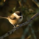 Willow tit by Jon Lees