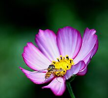 Hoverfly on cosmos by Mortimer123