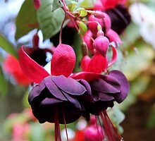 Fuschia by Camilla