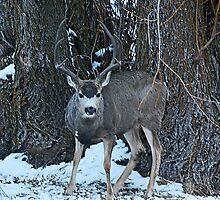 Tall rack mule deer  by saltypro