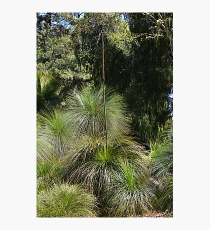 Grass Trees Photographic Print