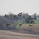 Farm Land Sandhill Cranes by Thomas Young