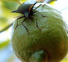 lemon invasion by Elisabeth Dubois
