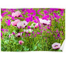 Poppies and Geraniums Poster