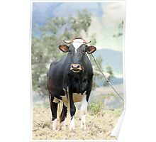 Cow in a Field Poster