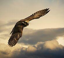 Angry Hawk by Robin Kamp