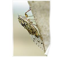 Cicada on Olive Tree Poster