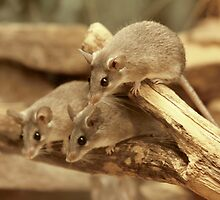 Harvest Mice by AnnDixon