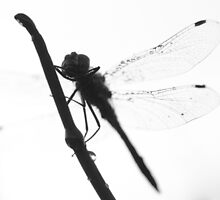 Dragonfly by KFMPhotography