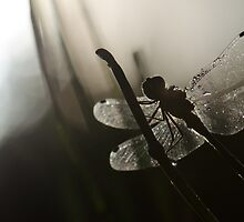 Early Morning Dragonfly by KFMPhotography
