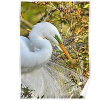 Great White Egret Portrait Poster