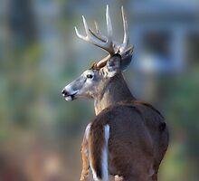Backyard Buck by Imagery