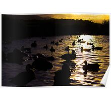 Ducks silhouette sunset  Poster