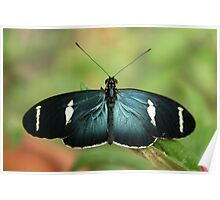 Blue Butterfly On a Leaf Poster