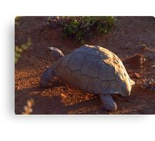 Tortoise wandering into the Sunset - South Africa Canvas Print