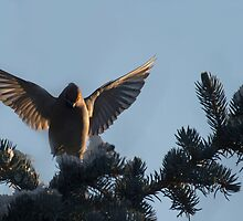 Bohemian Waxwing landing by Jan Timmons