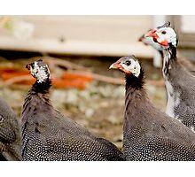 Guinea Hens Photographic Print