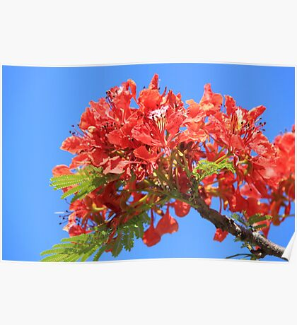 Perfect Poinciana Poster