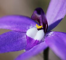 Parson in the Pulpit Orchid (Glossodia major) by Nick Delany
