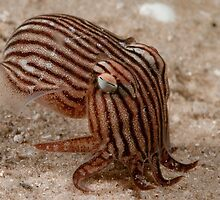 Striped Pyjama Squid - on a night dive, what else? by Erik Schlogl