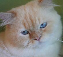 Delightful, Beautiful and Winsome Persian Cats! by Emily Alexander