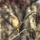 Little Bird by ChuckBuckner