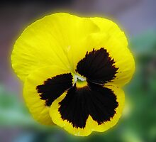 Endearing Pansy by BlueMoonRose