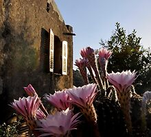 Cacti in bloom by Richard Murias