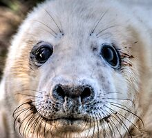 Grey Seal Pup close up by HKRDavid1