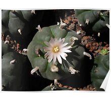 Unarmed cactus Poster