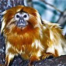Animalia-continues:::GOLDEN lion tamarin~~                **CRITICALLY ENDANGERED** by Sassafras