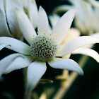 Flannel flowers by Laura Sykes