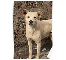 Stray White Dog Poster