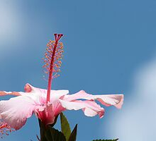Hibiscus Flower Against Blue Sky by rhamm