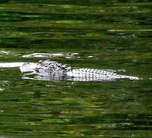 Rodman Gator Artistic Photograph by Shannon Sears by twobrokesistas