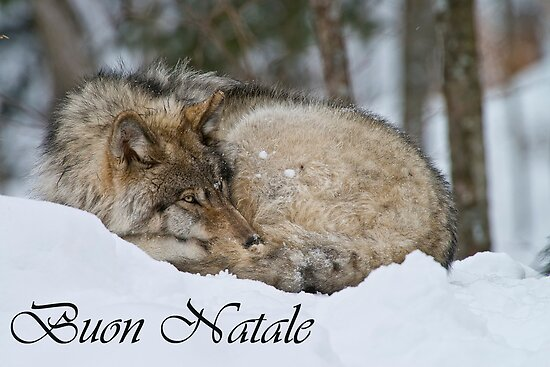Timber Wolf Christmas Card Italian 7 by WolvesOnly