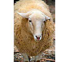 SA Sheep Photographic Print