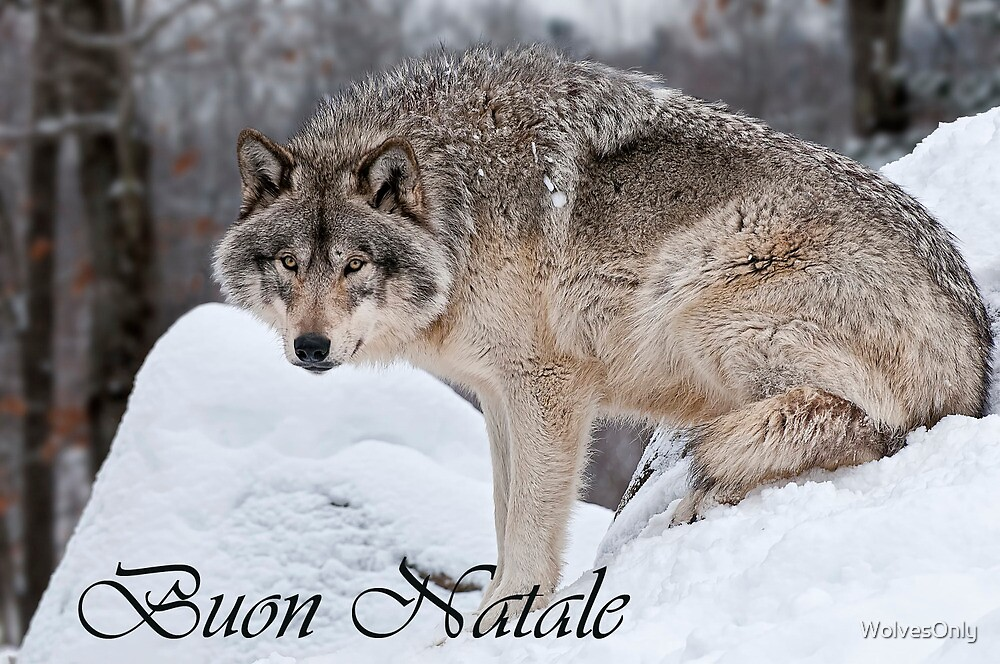 Timber Wolf Christmas Card Italian 10 by WolvesOnly